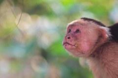 Capuchin-1