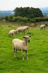 Rasta Sheep_1_12
