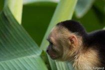 Los_Capuchin_71_13