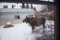 Moose02.13-36