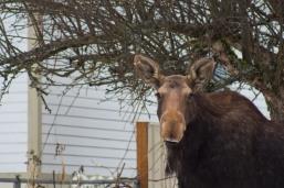 Moose02.13-39