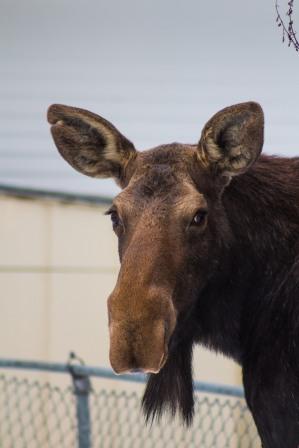 Moose02.13-53