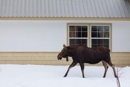 Moose02.13-59