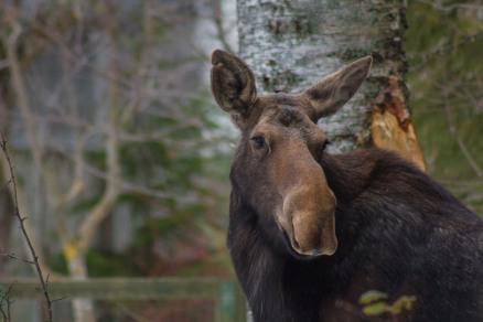 Moose02.13-66